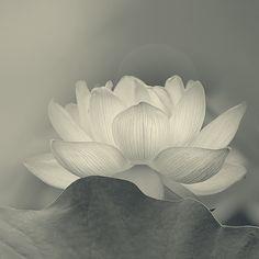 e69e23cc423464e666a71901c10cd220--white-flowers-lotus-flowers
